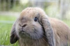 images hangoor volwassen konijn