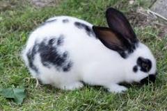 images konijn zwart wit